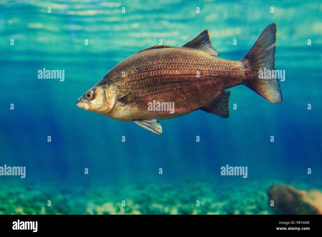 Uno rosso giallo di pesci di grandi dimensioni in acqua blu, colorato mondo subacqueo, copyspace per testo e sfondo Immagini Stock