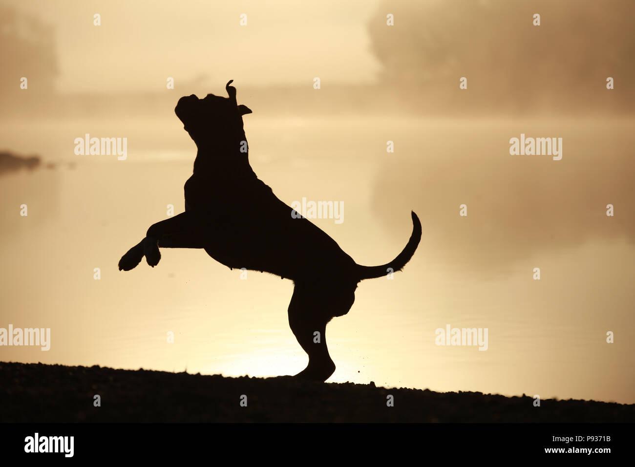 Silhouette di un boxer tedesche cane Immagini Stock