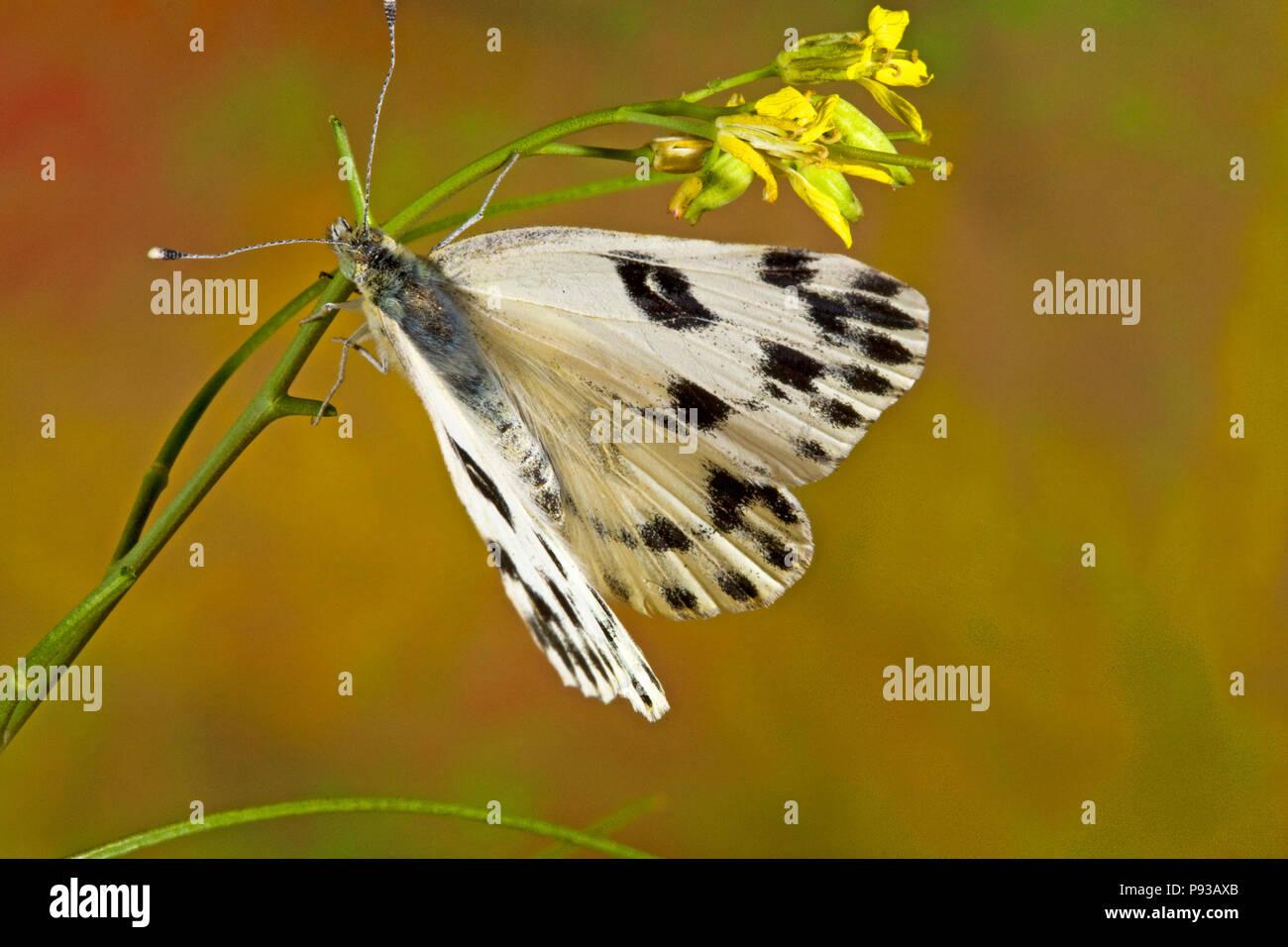 Un Becker White butterfly, Pontia beckerii, su un millefiori nel deserto della coscia del centro di Oregon. Immagini Stock