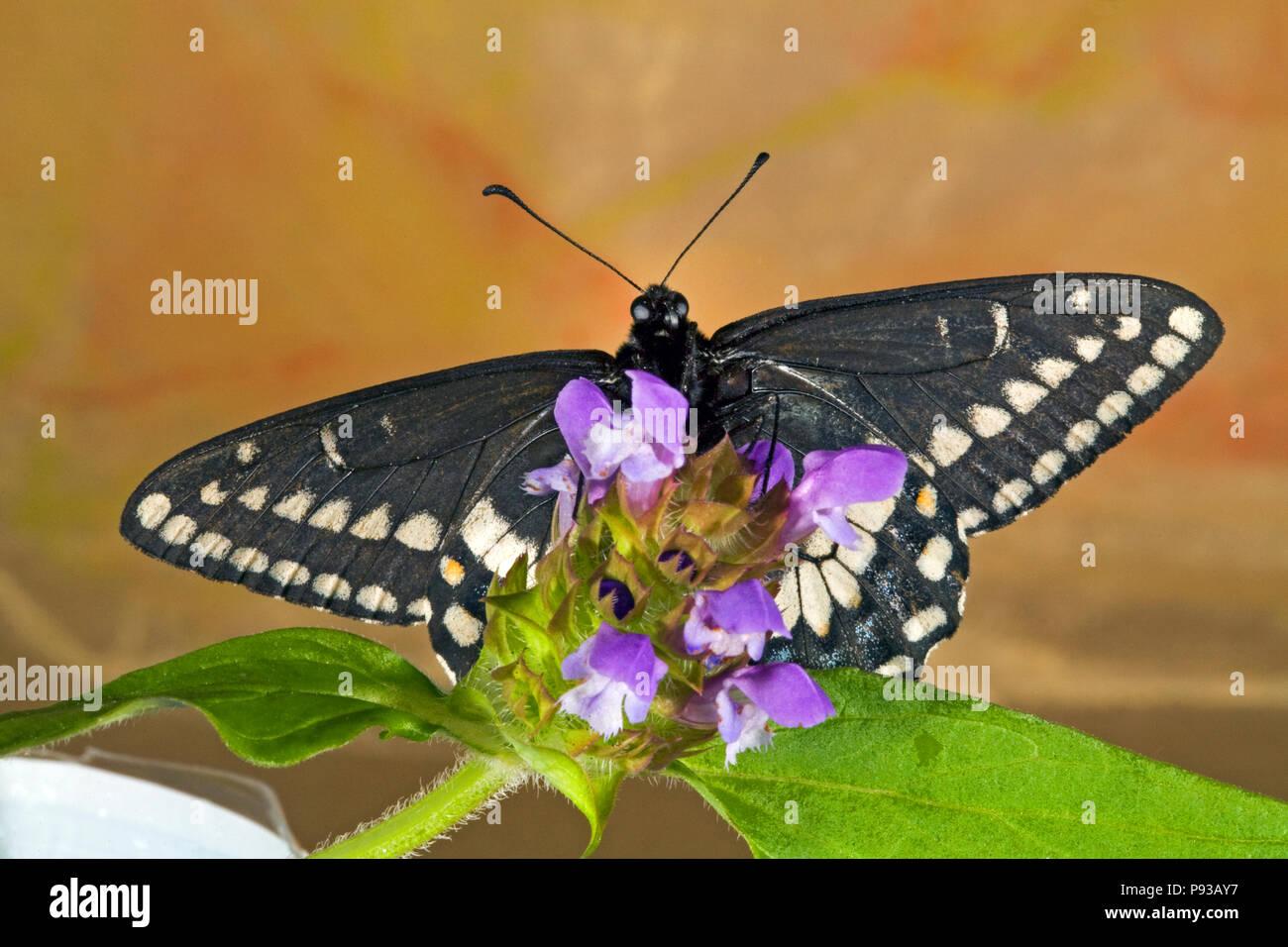 Vista ventrale di un Indra a coda di rondine, butterfly Papilio indra, su un millefiori nella parte orientale di Cascade Mountains del centro di Oregon. Immagini Stock