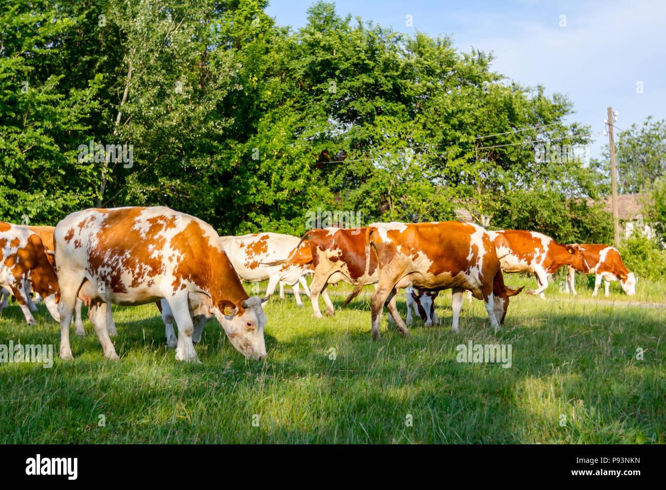 Allevamento di bloodstock domestico le mucche sono erba di pascolo in borgo rurale. Immagini Stock