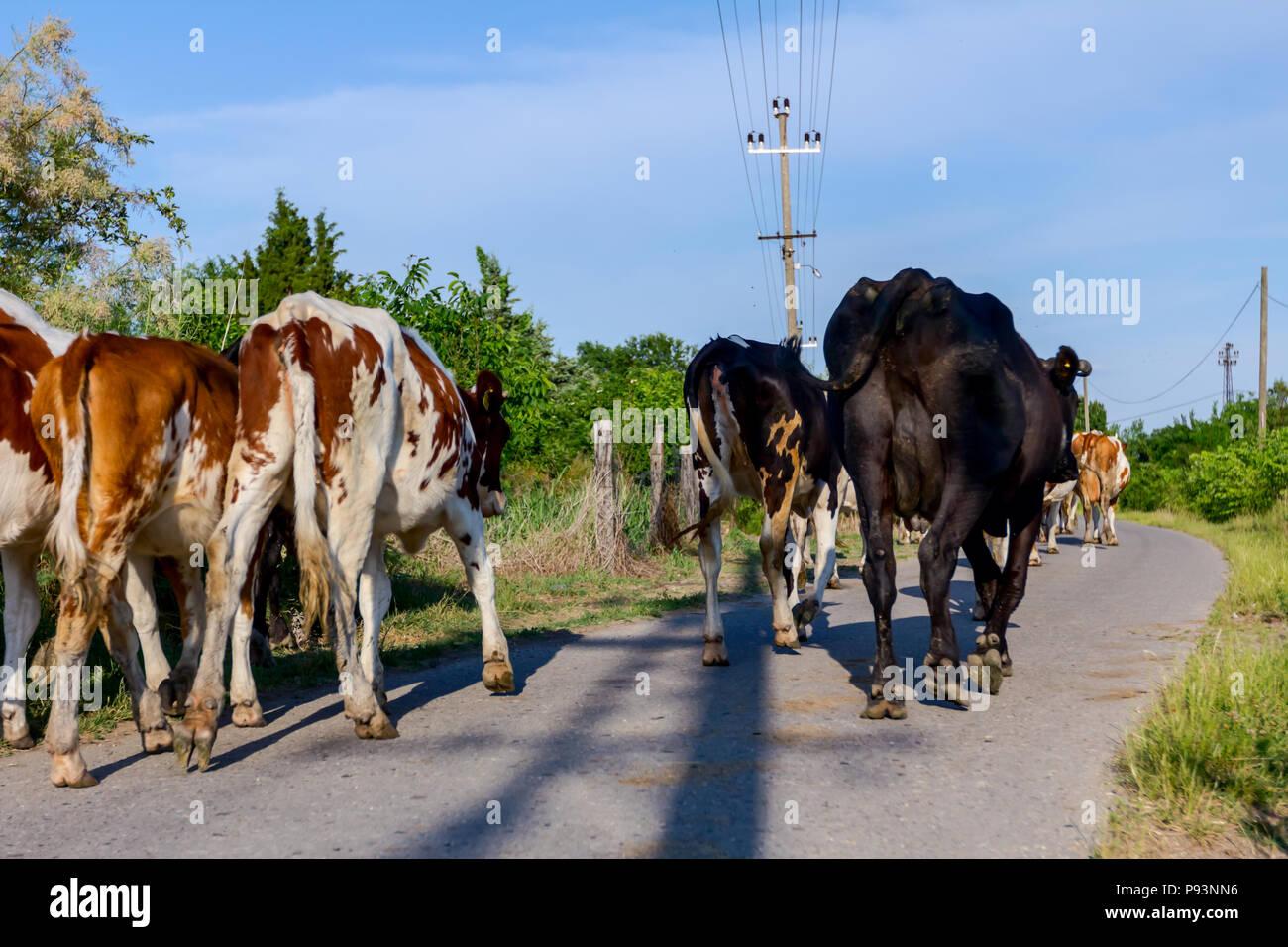 Due pastori sono alla guida di una mandria di bloodstock vacche domestiche home il fienile dopo pascoli su strada asfaltata nel villaggio. Immagini Stock