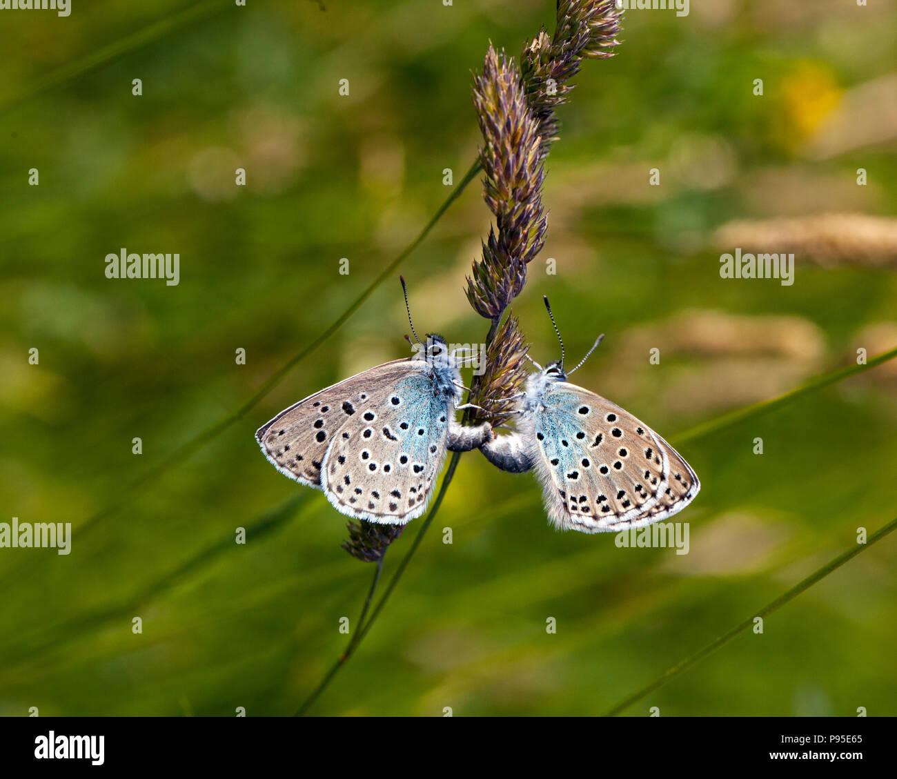 Coppia di grandi farfalle blu Maculinea arion Collard su Hill Somerset dopo la sua reintroduzione di successo negli anni ottanta dopo essere diventato estinti nel 1979 Immagini Stock