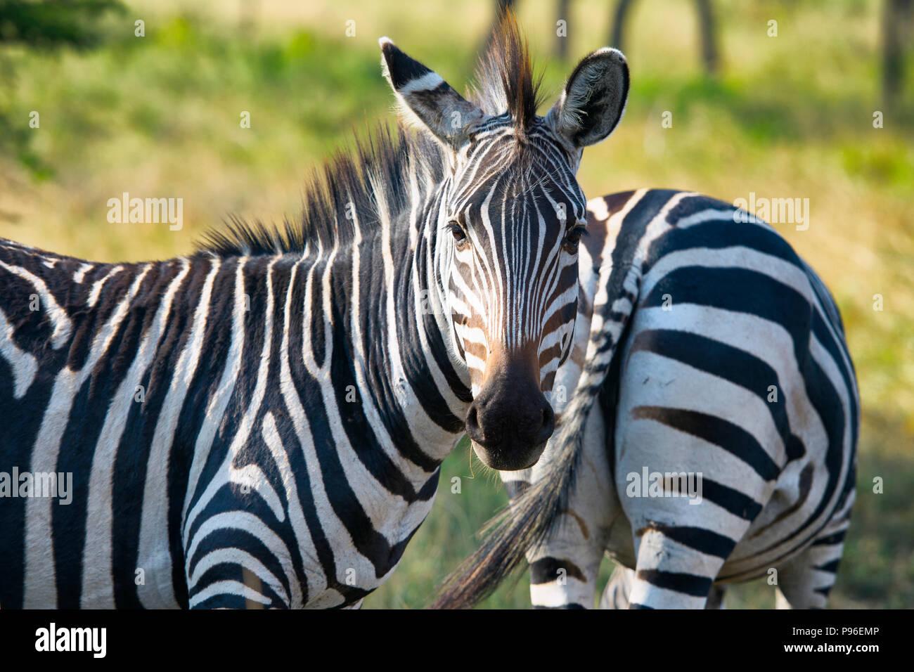 Zebra, zebre, Equus quagga, Due, coppia Immagini Stock