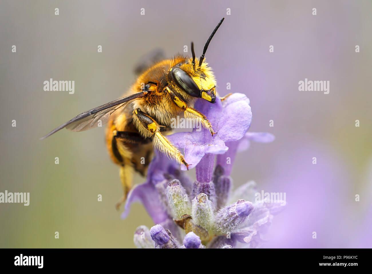 Una chiusura di un miele delle api, le api su una pianta di Lavanda, Lavandula spica. Immagini Stock