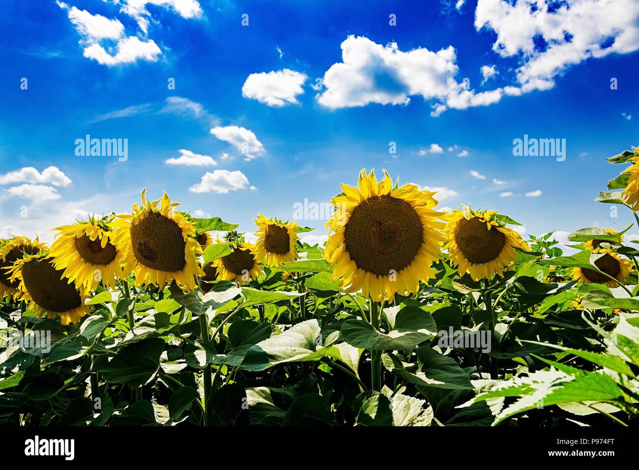 Campo con girasoli contro il cielo blu. Bellissimo paesaggio ...