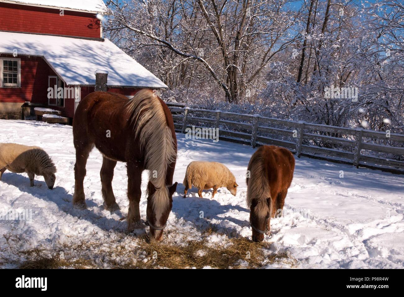 I cavalli e le pecore vivono insieme. Immagini Stock