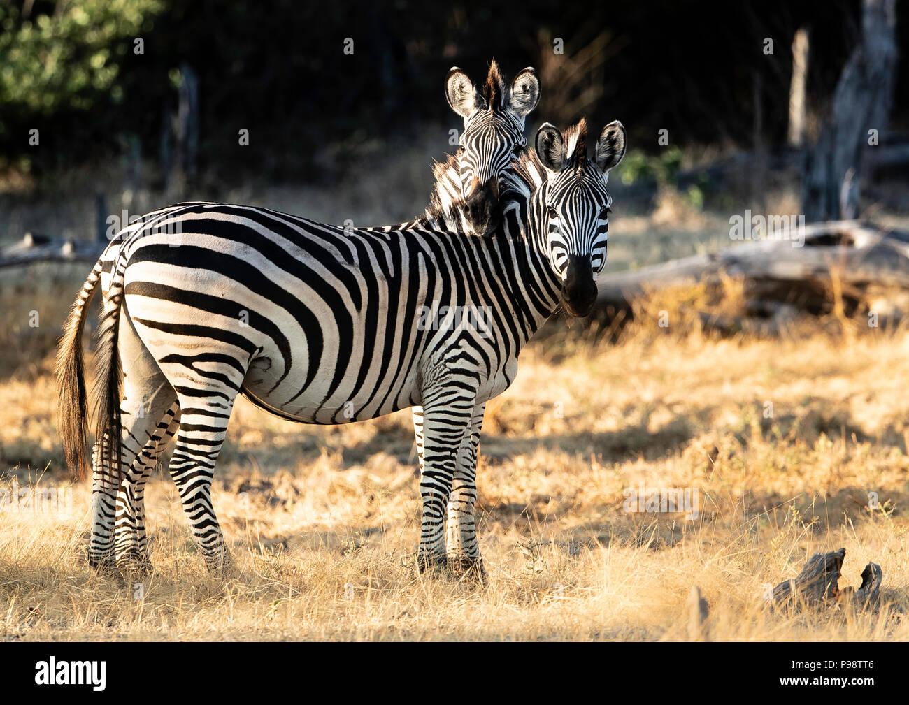 Chapman's Zebra, Mana Pools, Zimbabwe Immagini Stock