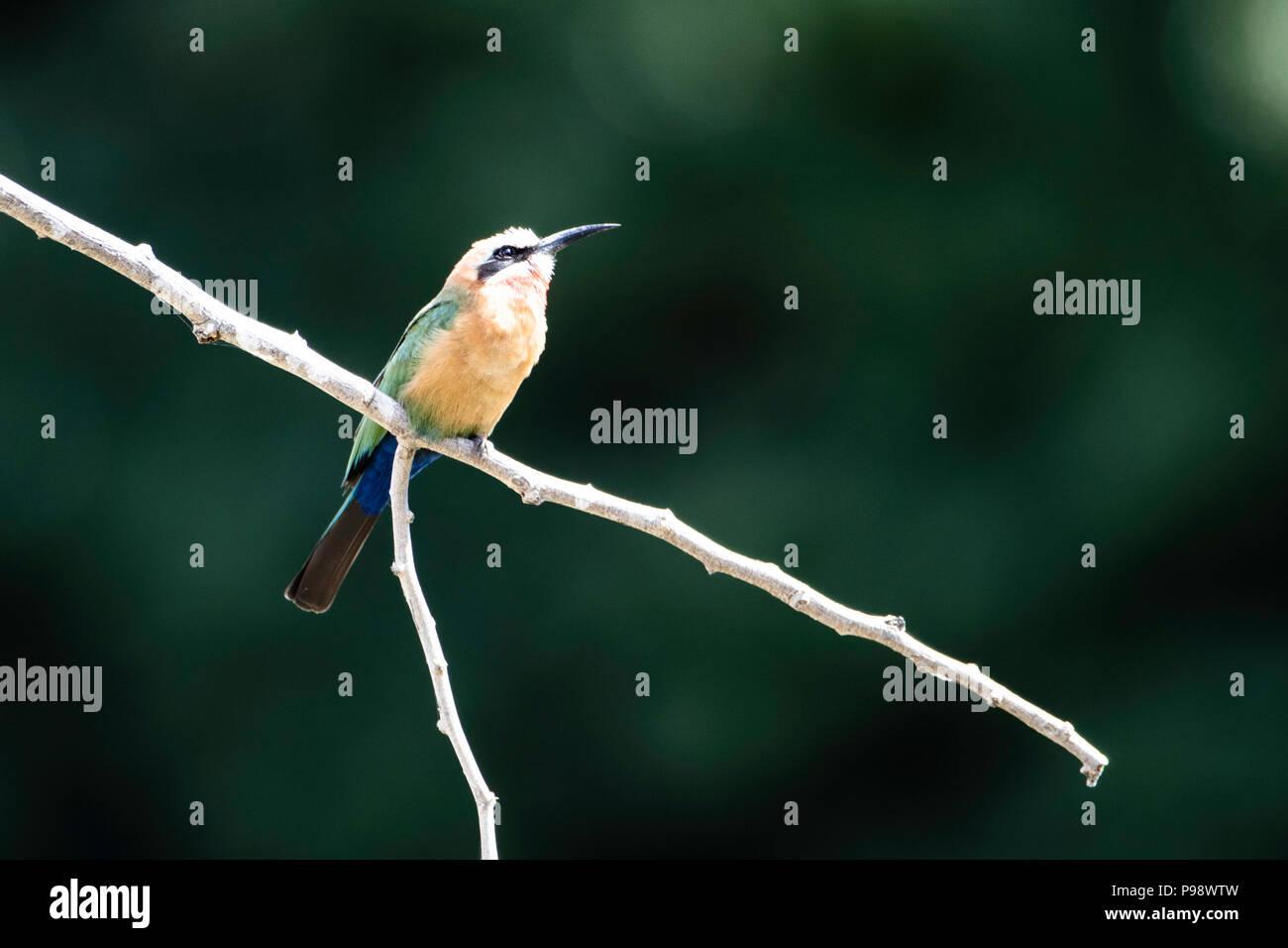 Con facciata bianca Bee Eater su un ramoscello, John's Camp, Mana Pools, Zimbabwe Immagini Stock