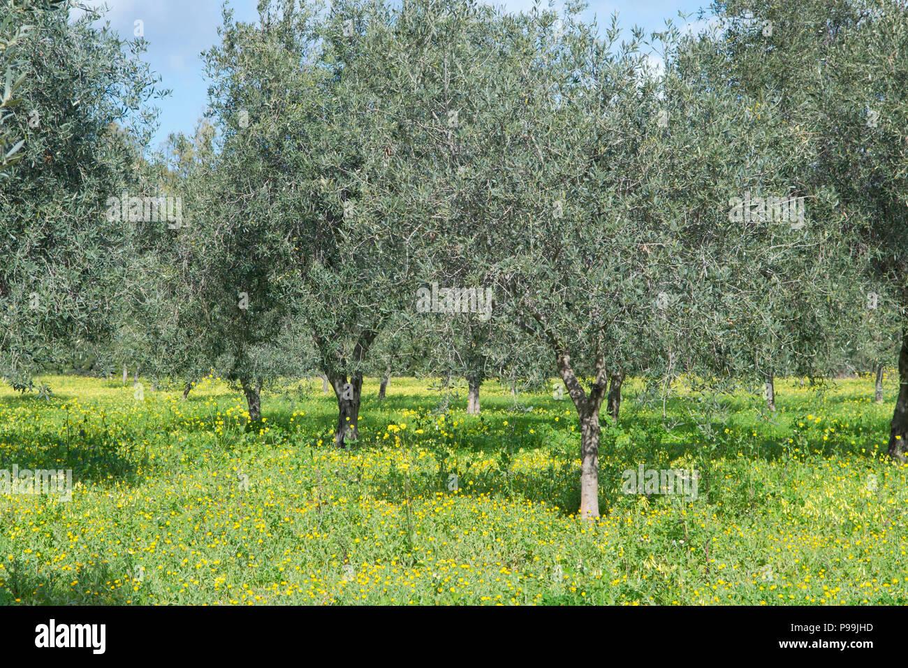 Fiori Gialli In Sardegna.Uliveti Fiori Gialli Cuglieri Sardegna Italia Foto Immagine
