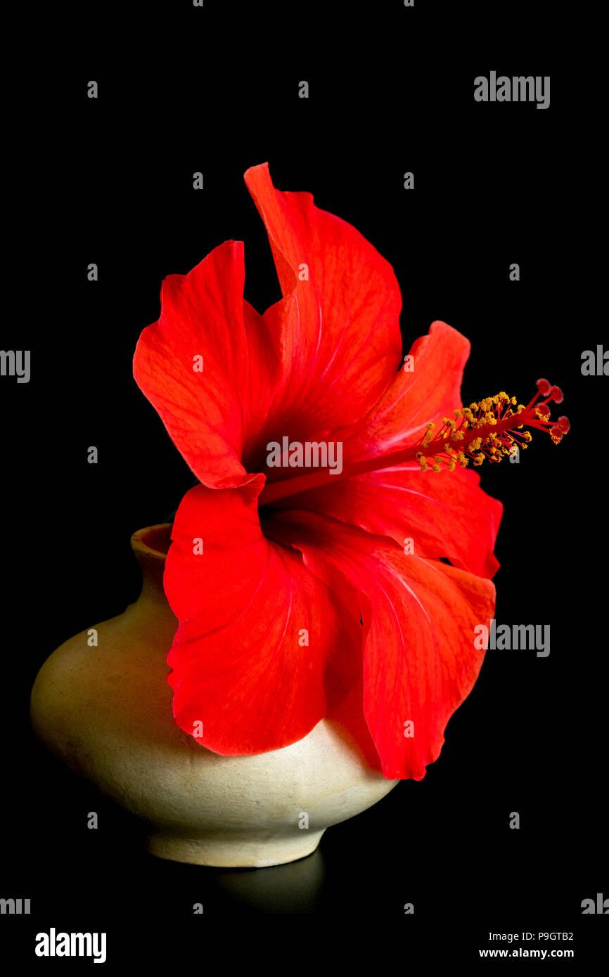 Grande Fiore Rosso Nel Vaso Isolato Su Sfondo Nero Fiore Di