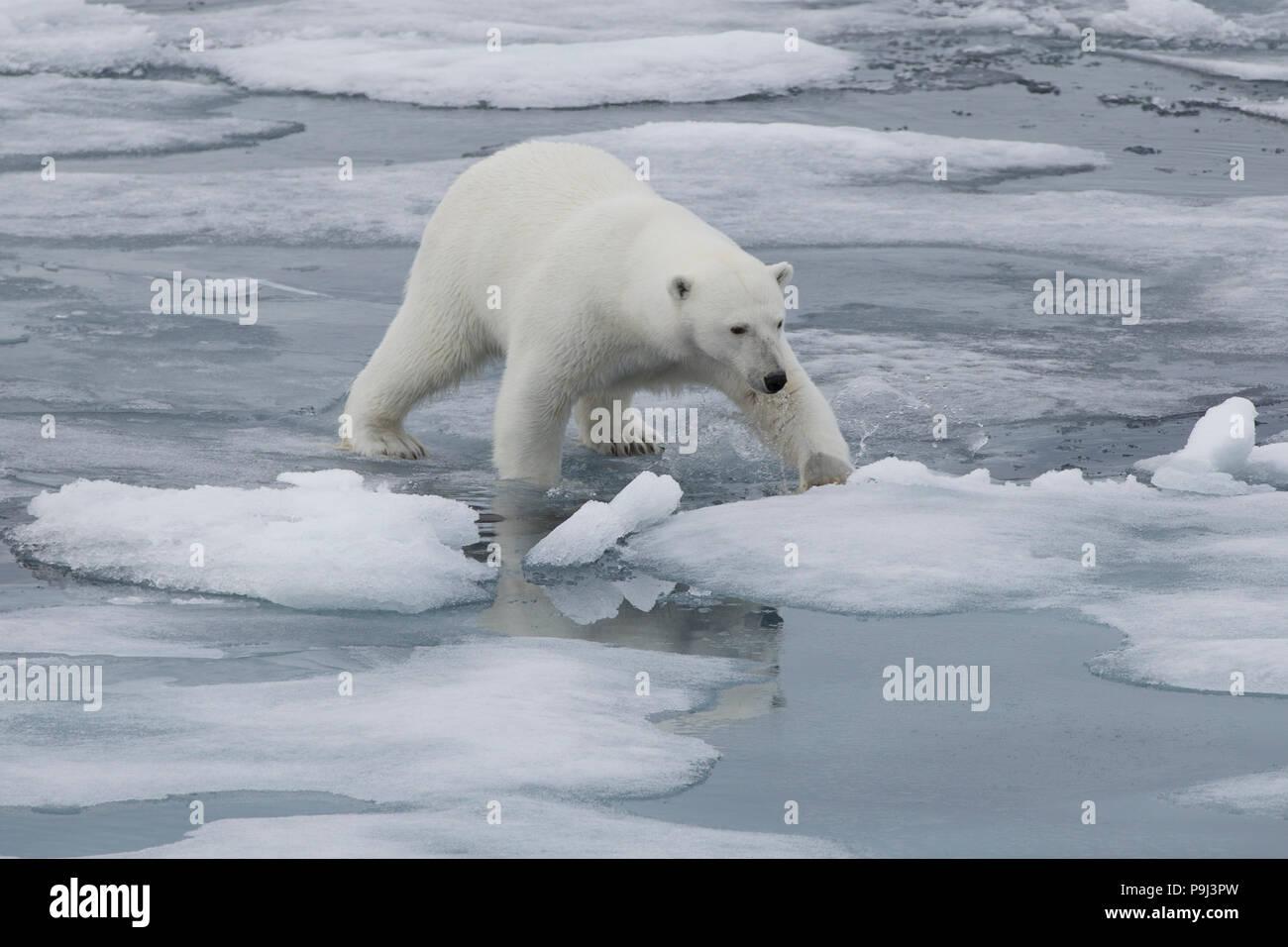 Orso polare camminando sul mare sottile di ghiaccio nei pressi di Svalbard Immagini Stock