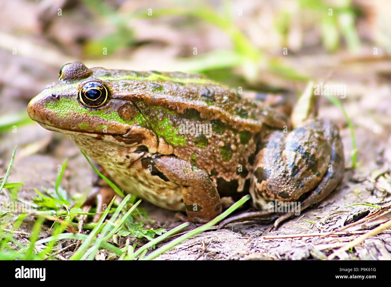 La rana di palude (Pelophylax ridibundus appartiene alla famiglia di vera rane) nel fango Immagini Stock