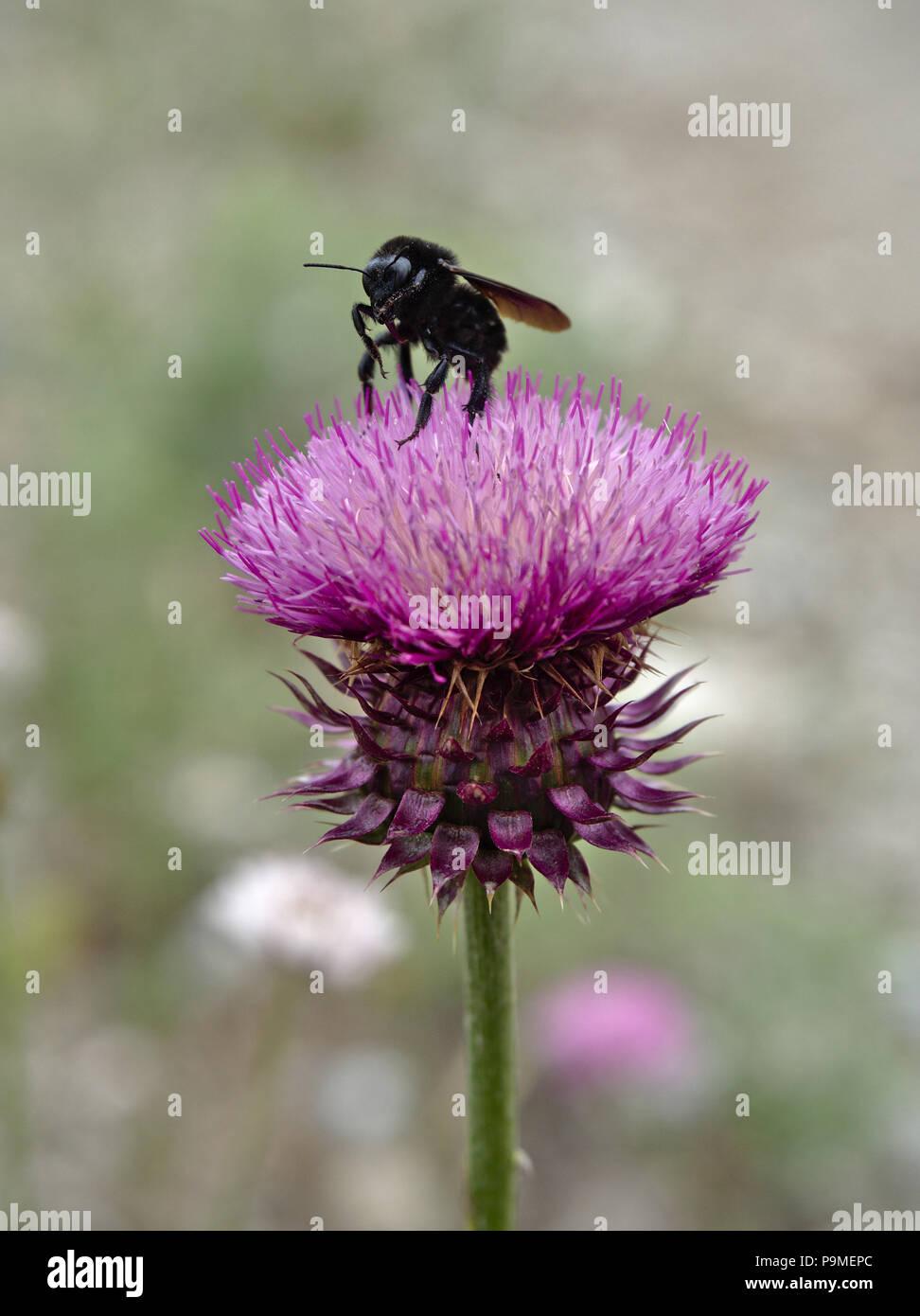 Un nero bumblebee estrae il nettare da un fiore di cardo in Villa de Merlo, San Luis, Argentina. Immagini Stock