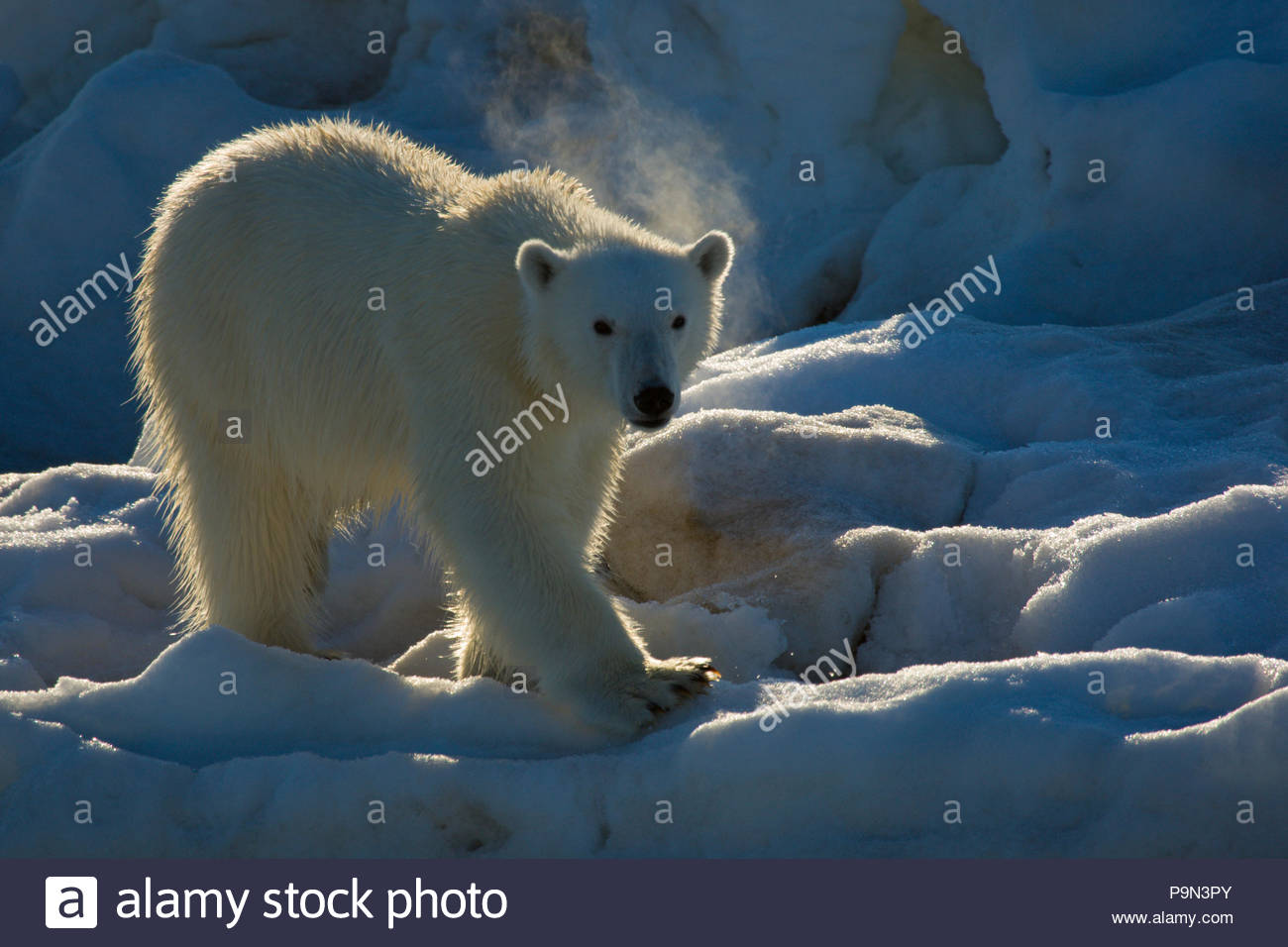 Orso polare, Ursus maritimus, sulla banchisa. Foto Stock