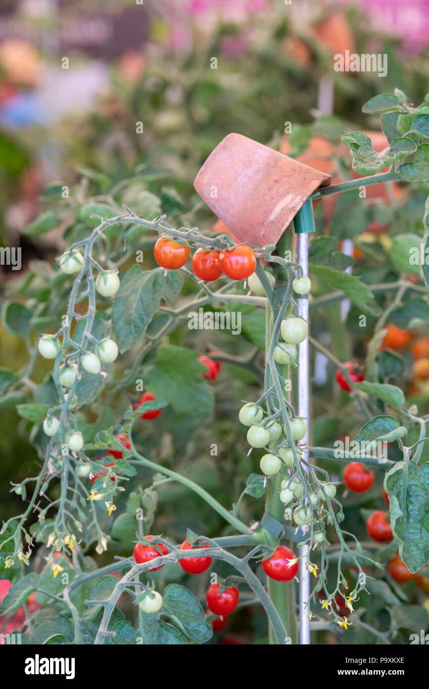 """Solanum lycopersicum. Il pomodoro 'Oh Happy day"""" impianti con maturi e pomodori immaturi. Regno Unito Foto Stock"""