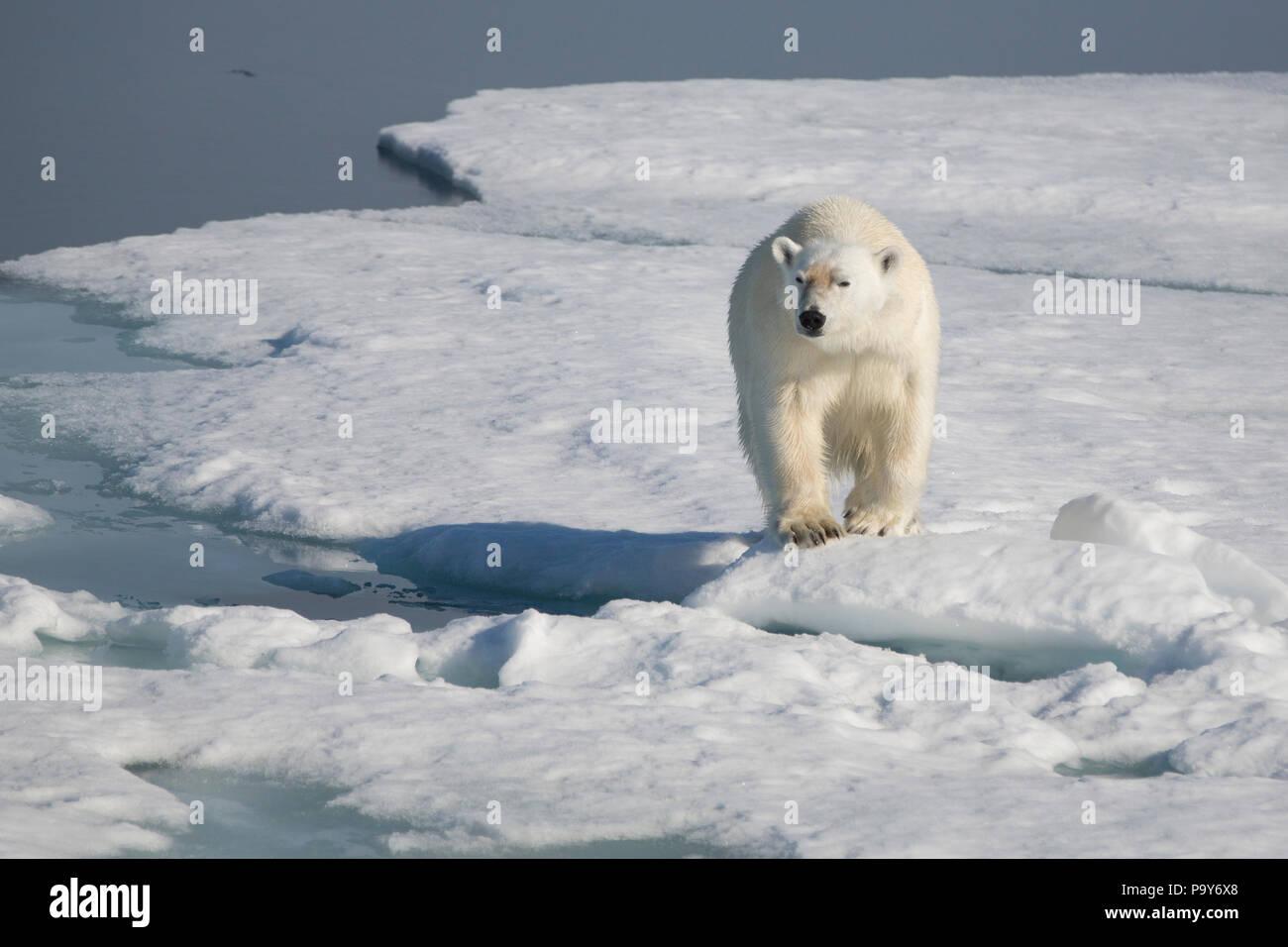 Orso polare camminando sulla congelati Oceano Artico vicino alle Isole Svalbard Immagini Stock