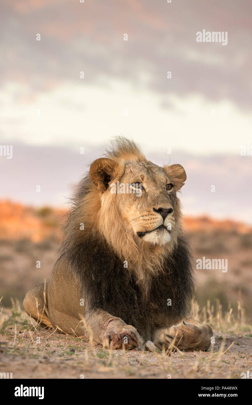 Lion (Panthera leo) maschio, Kgalagadi Parco transfrontaliero, Sud Africa, Immagini Stock