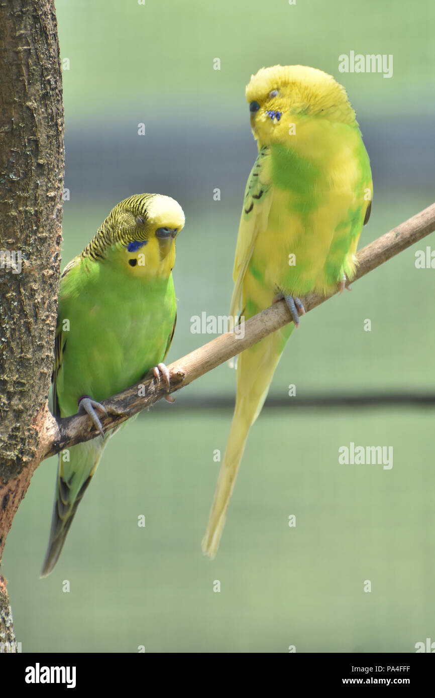 Coppia di vero pappagalli appollaiato su un ramo di albero. Immagini Stock