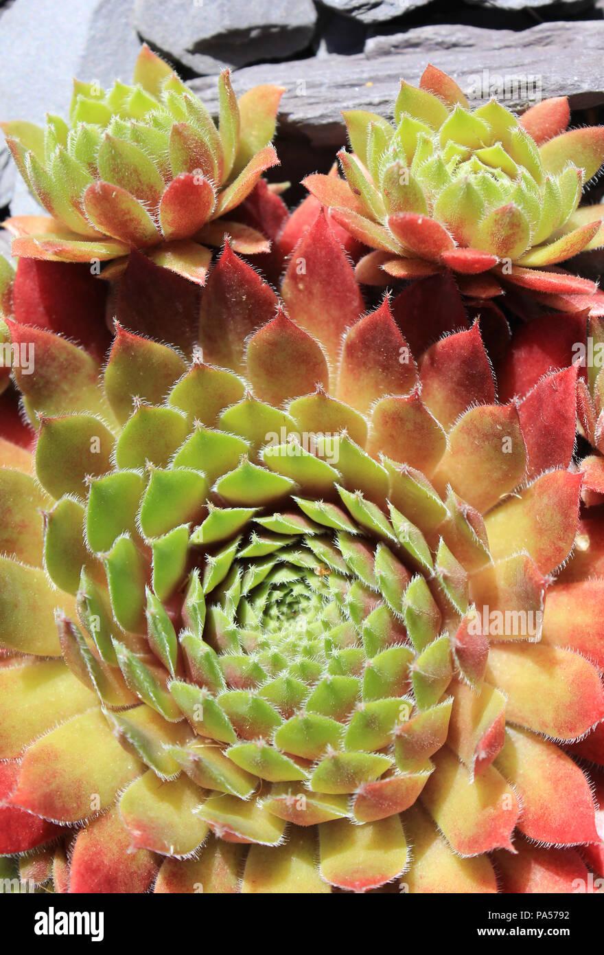 Succulento con andamento a spirale Immagini Stock