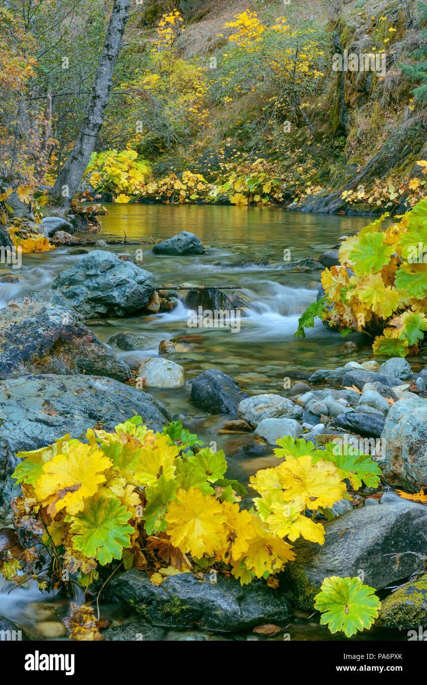 Rabarbaro indiano, Darmera Peralta, Lavezzola Creek, Tahoe National Forest, California Immagini Stock