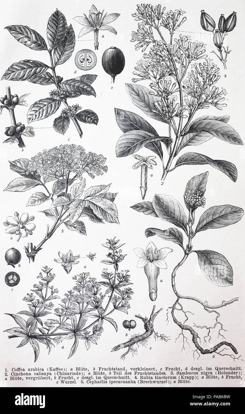 Varie piante, Coffea arabica, China calisaya, Sambucus nigra, Rubia tinctorum, Cephaelis ipecacuana, digitale migliorata la riproduzione di un originale xilografia stampa da l'anno 1881 Immagini Stock