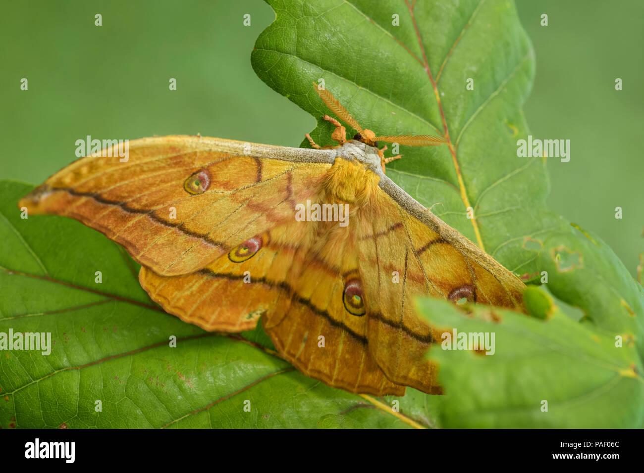 Quercia giapponese Silkmoth - Antheraea yamamai, grande giallo e arancione moth da East Asian boschi. Immagini Stock
