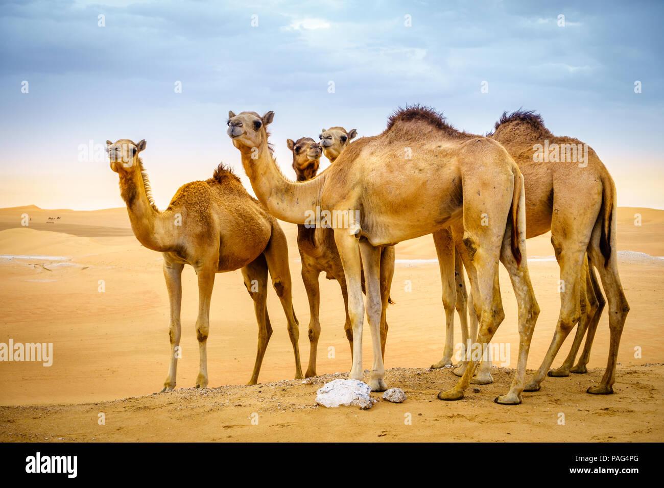 Una mandria di cammelli selvatici nel deserto vicino Al Ain, Emirati arabi uniti Immagini Stock