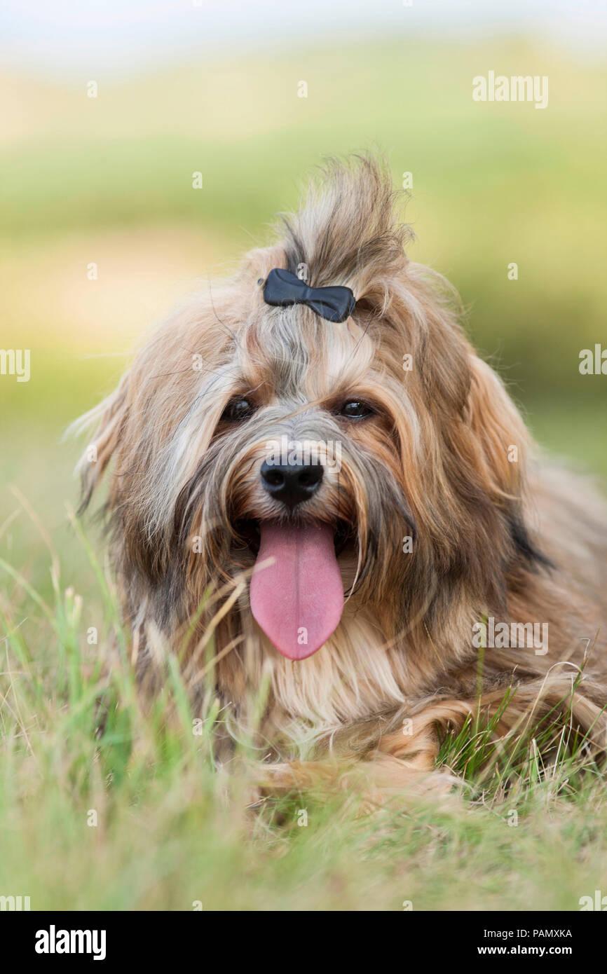Havanese. Cane adulto con fermaglio per capelli sdraiati su un prato, ansimando. Germania Immagini Stock