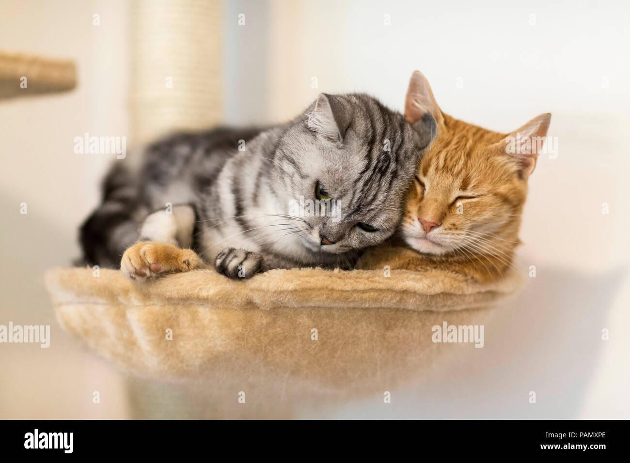 British Shorthair e il gatto domestico. Due gatti adulti che giace accanto a ogni altro su un letto di pet. La Germania . Immagini Stock