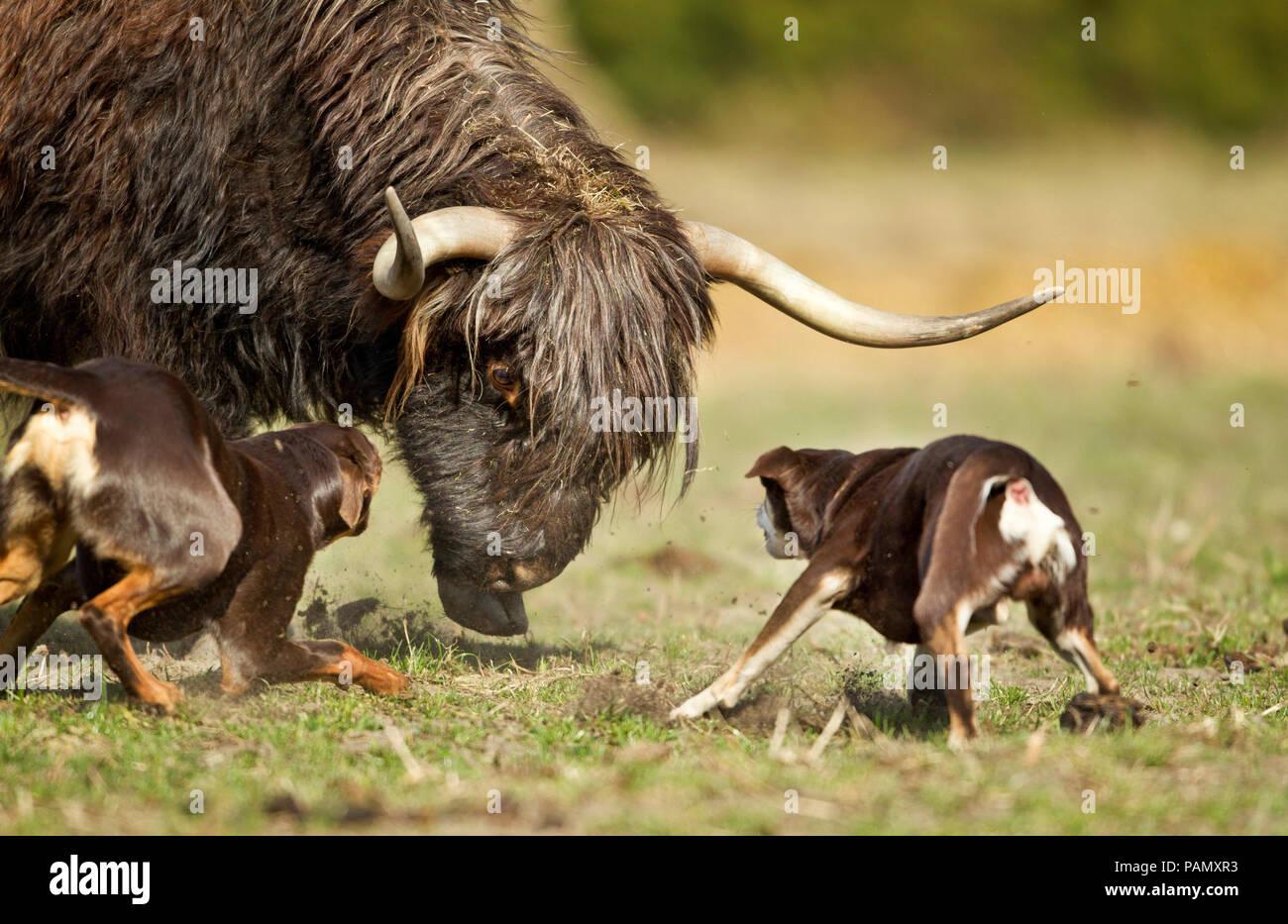 Australian Kelpie di lavoro. Due cani adulti allevamento del bestiame (bovini Highland ?). Bassa Sassonia, Germania. Immagini Stock
