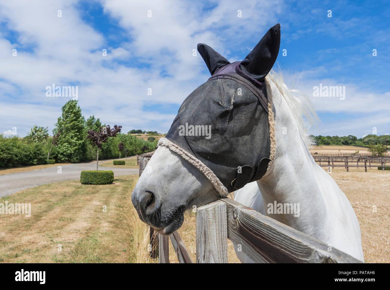 White Horse in estate guardando sopra un recinto, indossando una maglia fly velo maschera di protezione sulla sua testa e orecchie per proteggere da mosche, nel West Sussex, Regno Unito Immagini Stock