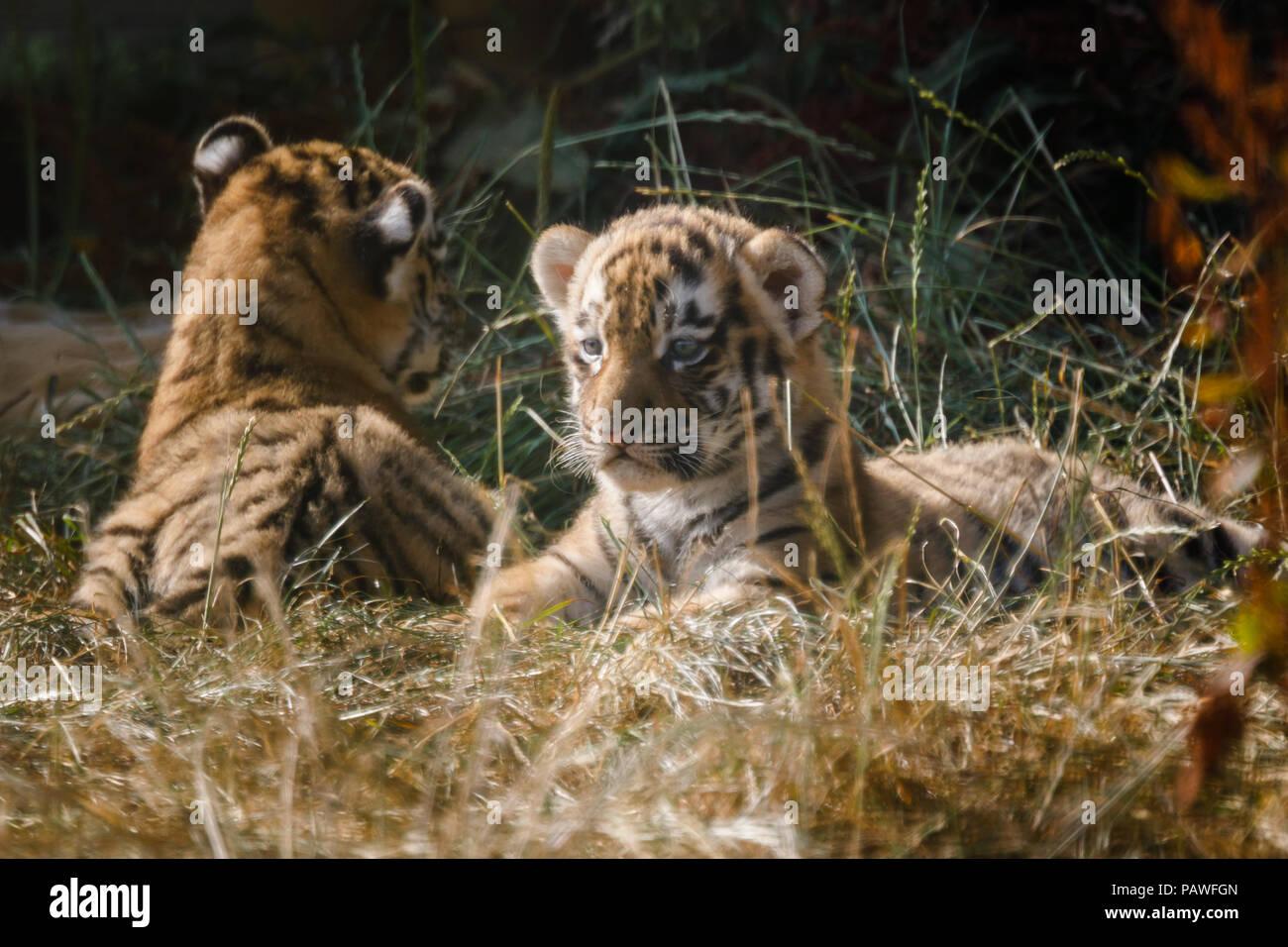 Whipsnade, UK. Il 25 luglio 2018. Quattro in via di estinzione di Amur cuccioli di tigre, nato un mese fa a ZSL Whipsnade Zoo, visto giocare al di fuori della loro den. Credito: amanda rose/Alamy Live News Immagini Stock