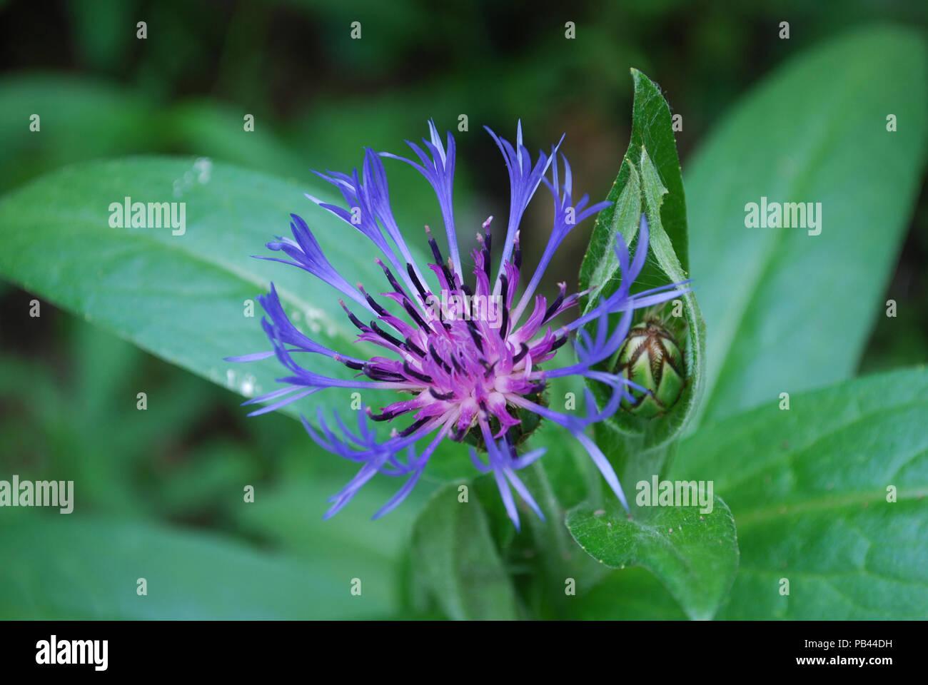 Splendida fioritura bachelor pulsante della pianta rigogliosa. Immagini Stock