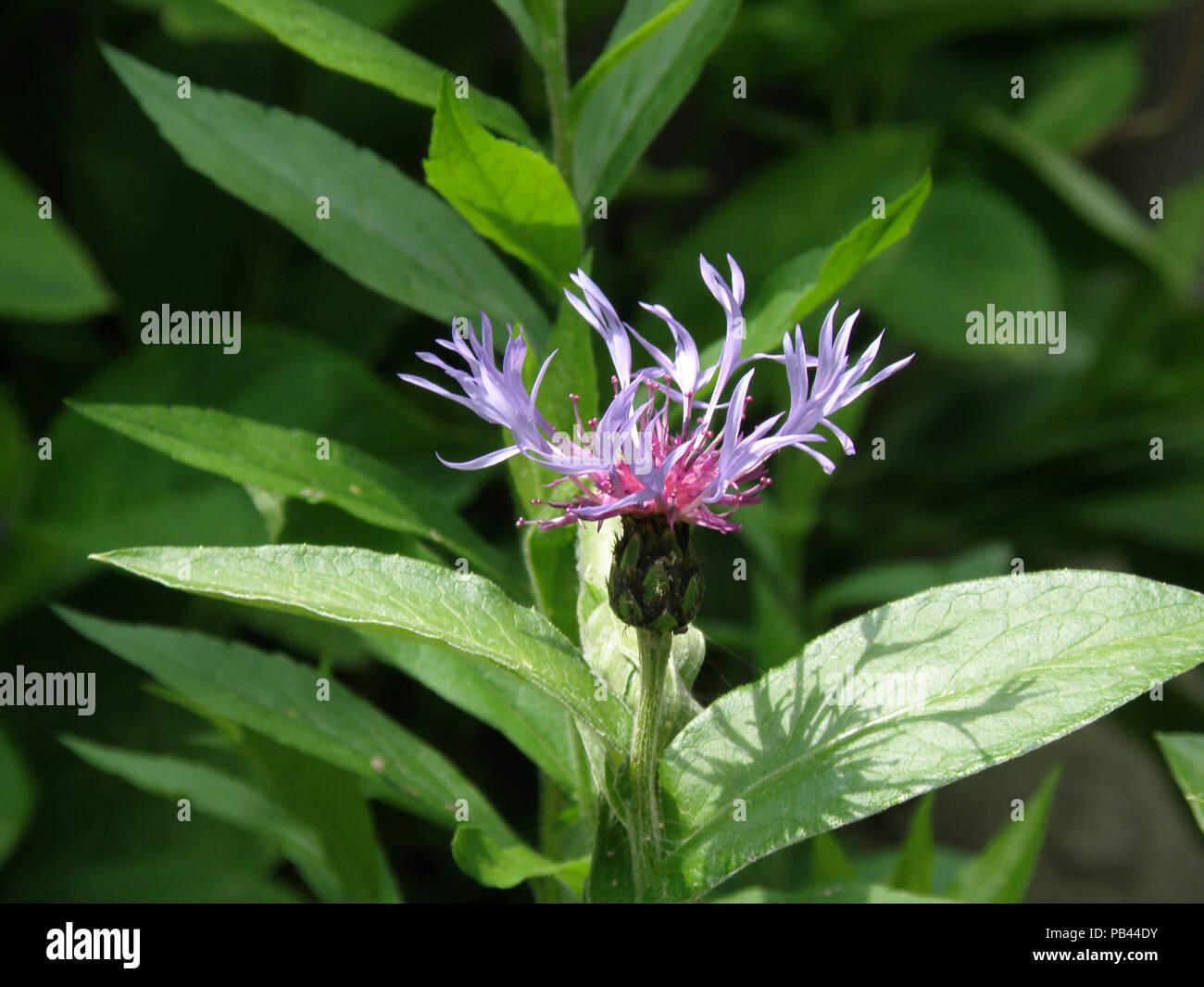 Giardino con una fioritura di laurea blu pulsante del fiore. Immagini Stock