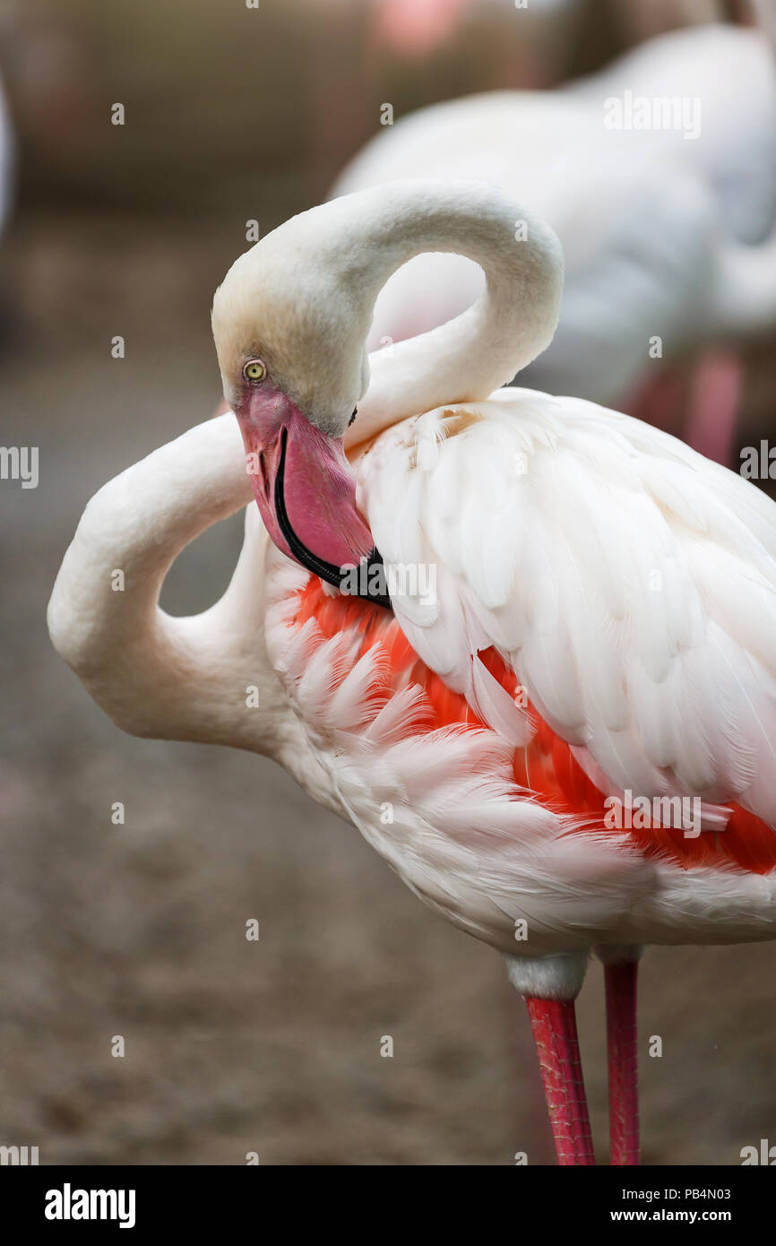 Una bella pulizia flamingo le sue piume, Flamingo è specie tipiche per molti paesi Immagini Stock