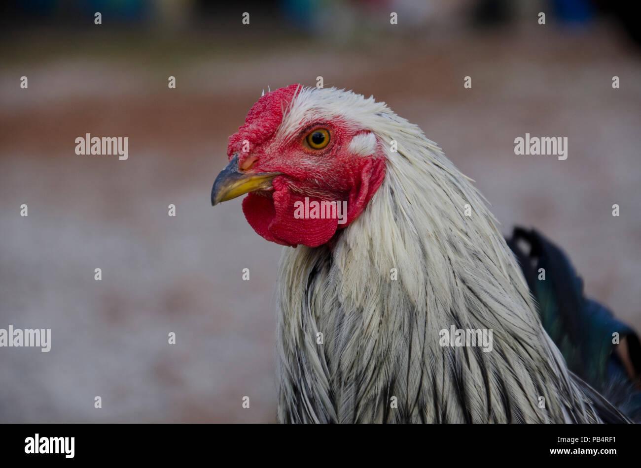 Argento cucita Wyandotte rooster, galletto, nel cantiere vicino, Maine Immagini Stock