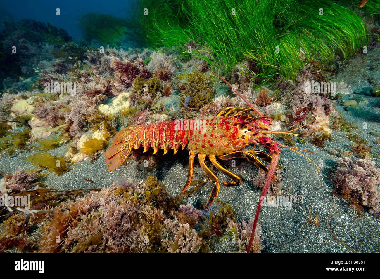 Il California aragosta, Panulirus interruptus, è uno dei più grandi aragosta specie, raggiungendo così tanto come 24 pollici di lunghezza, Santa Barba Immagini Stock