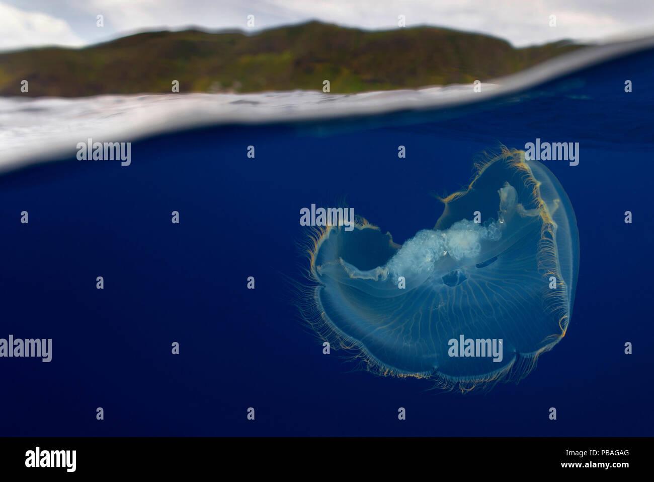 Luna medusa (Aurelia aurita) vicino alla superficie, Santa Maria Island, Azzorre, Settembre. Immagini Stock