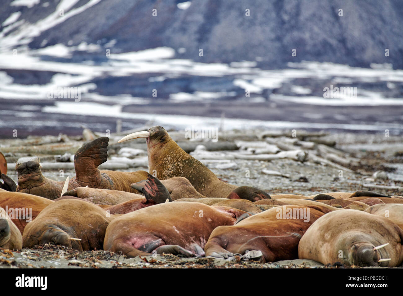 Tricheco, Odobenus rosmarus, Poolepynten, Svalbard o Spitsbergen, Europa Immagini Stock