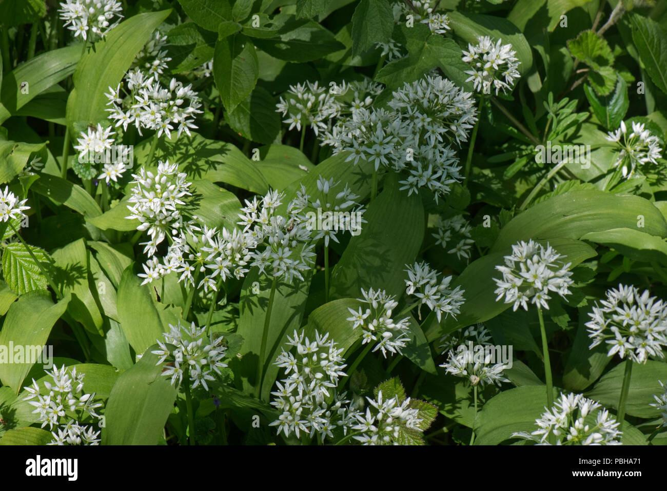 Fiori Bianchi Bosco.Aglio Selvatico O Ramsons Allium Ursinum Fiori Bianchi Nel Bosco