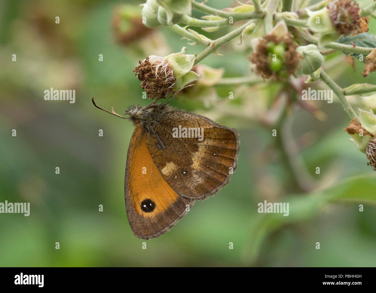 Gatekeeper Butterfly, Pyronia tithonus, singolo adulto alimentazione su rovo fiori, Worcestershie, REGNO UNITO Immagini Stock