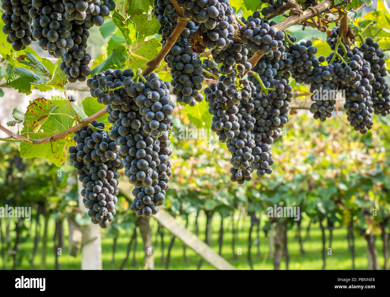 Teroldego vitigno. Teroldego è un profondo colore rosso uva da ...