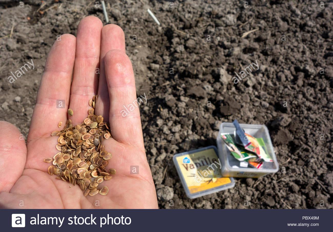 """Piantare semi sul riparto. Mano con semi, pastinaca sativa pastinaca, """"Guernsey' al di là di una plastica gelato vasca riciclato in un contenitore di seme. Immagini Stock"""