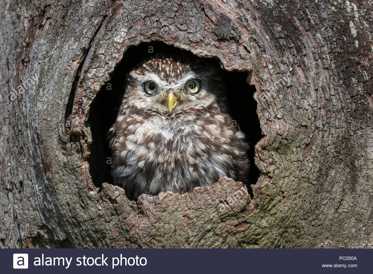 Civetta (Athene noctua) captive, Cumbria, Regno Unito Immagini Stock