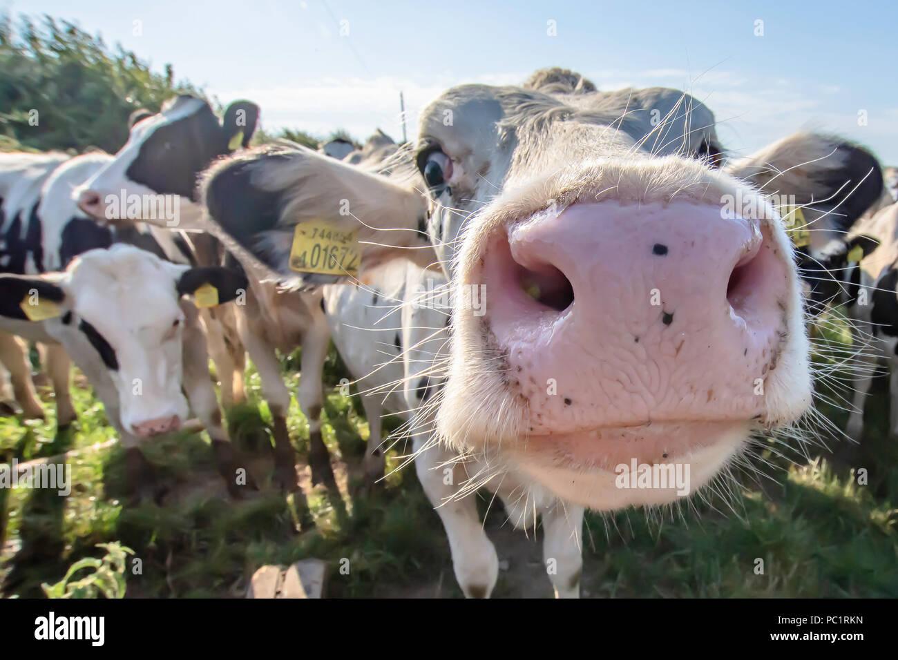 Vacca bianca close up ritratto su pascolo.animale da azienda cercando nella fotocamera con obiettivo grandangolare.divertenti e animali adorabili.Bovini Uk.Funny vacche. Immagini Stock