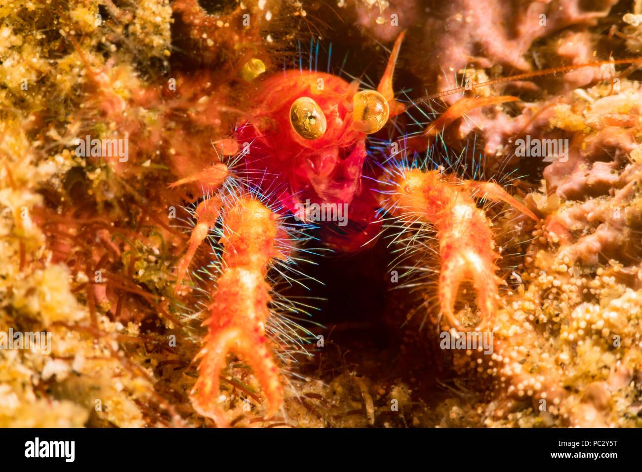 Il bug-eyed squat lobster, Neomunida olivarae, è anche noto come una colorata squat aragosta o google-eyed fairy granchio, Dumaguete, Filippine, dell'Asia. Immagini Stock