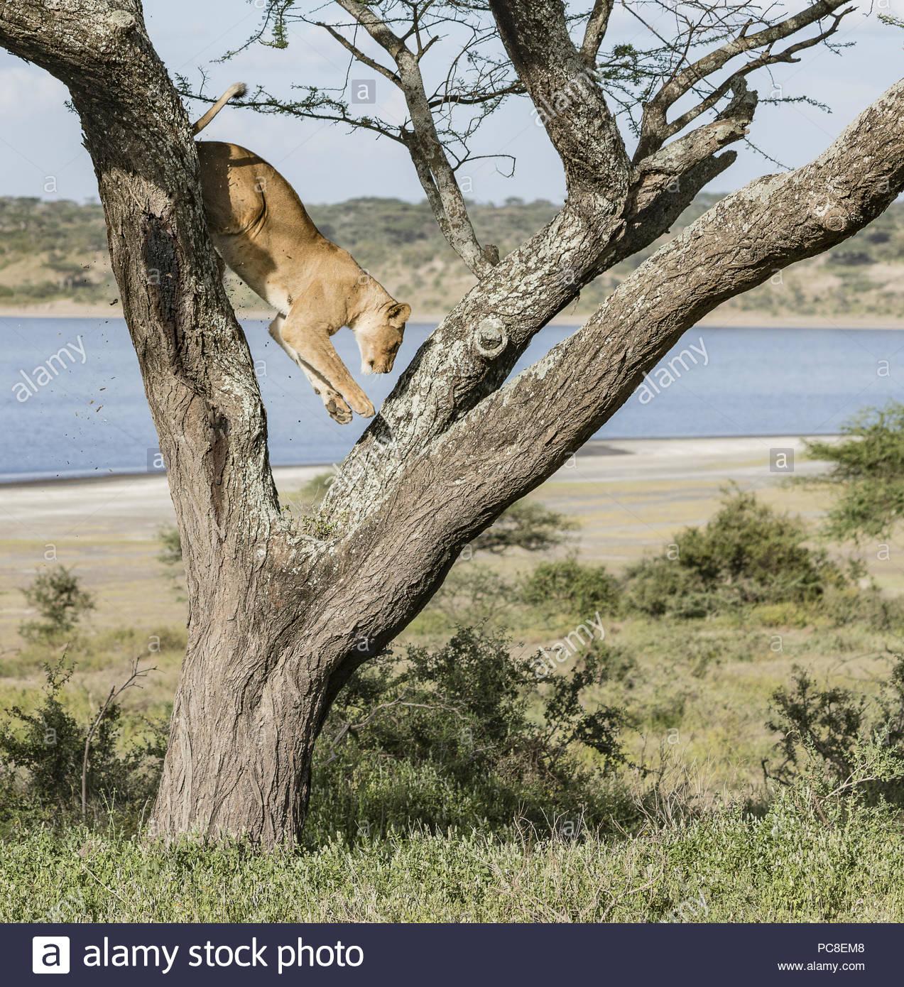Una leonessa salta giù dall'arto di un albero di acacia. Immagini Stock