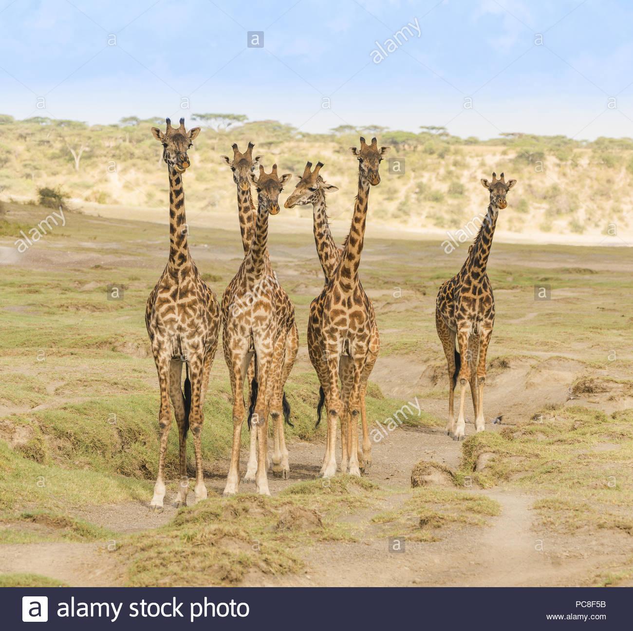 Un piccolo allevamento di sei giraffe fermarsi e osservare eventuali minacce man mano che si avvicinano al loro watering hole. Immagini Stock