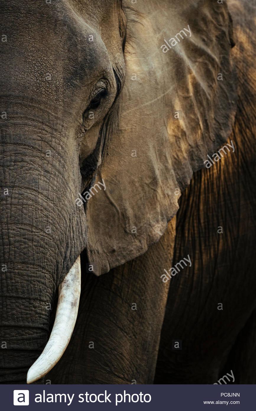 Un close up ritratto di un elefante africano Loxodonta africana. Foto Stock